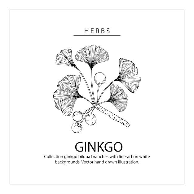 ginkgo biloba feuille