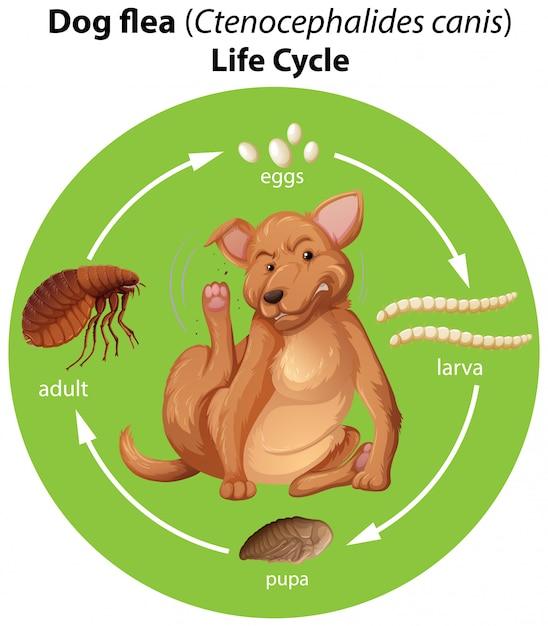 Diagramme montrant le cycle de vie des puces de chien Vecteur gratuit