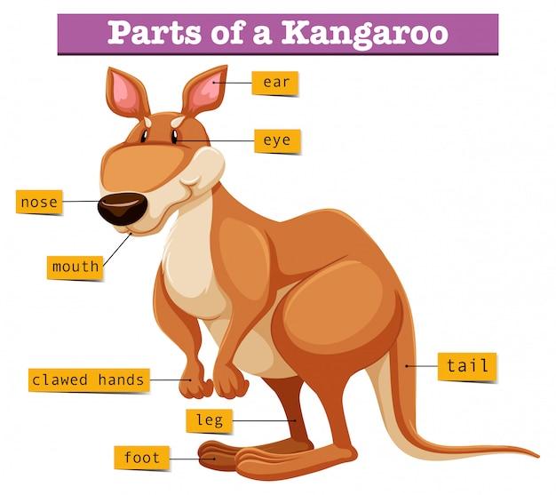Diagramme montrant différentes parties du kangourou Vecteur gratuit