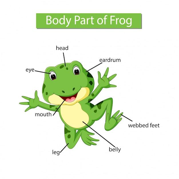 Diagramme montrant une partie du corps d'une grenouille Vecteur Premium