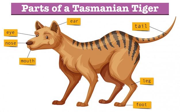 Diagramme montrant des parties du tigre de tasmanie Vecteur gratuit