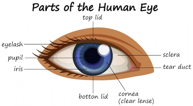 Diagramme montrant des parties de l'oeil humain Vecteur gratuit