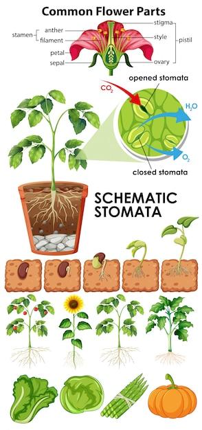 Diagramme Montrant Les Stomates Schématiques Des Fleurs Sur Fond Blanc Vecteur gratuit