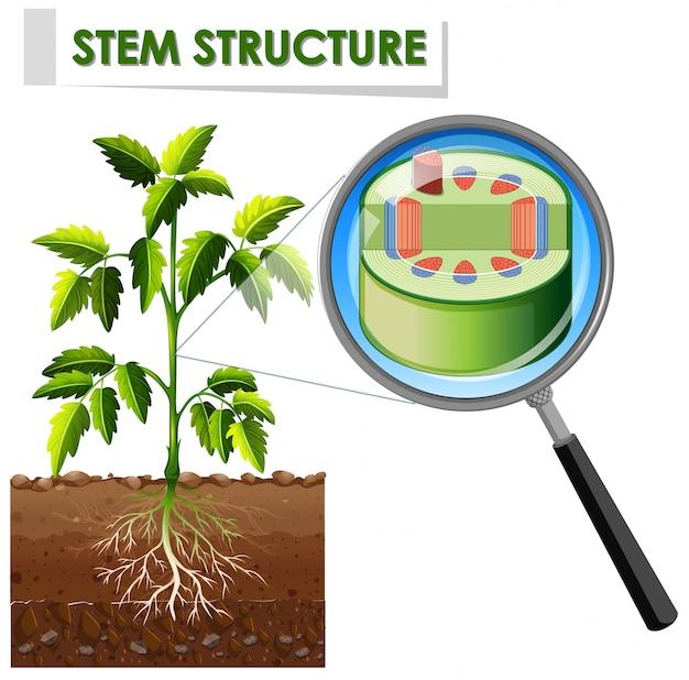 Diagramme Montrant La Structure De La Tige D'une Plante Vecteur gratuit