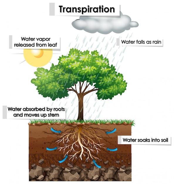 Diagramme montrant la transpiration de la plante Vecteur gratuit