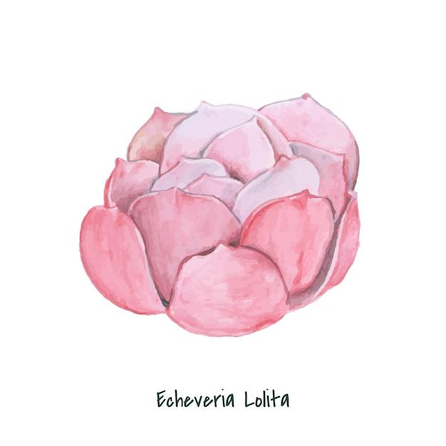 Echeveria lolita succulente dessiné à la main Vecteur gratuit