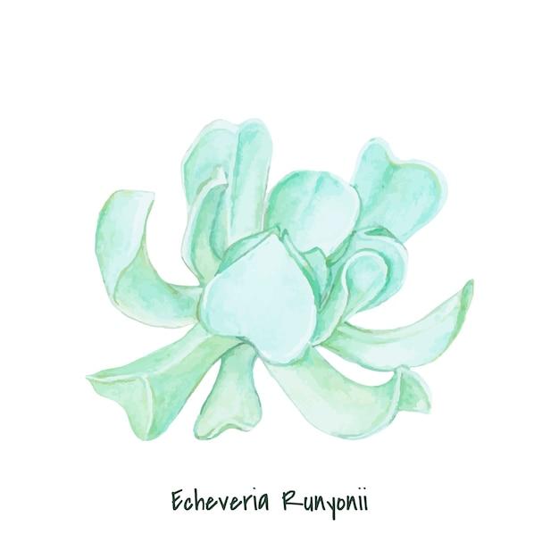 Echeveria runyonii succulente dessinés à la main Vecteur gratuit