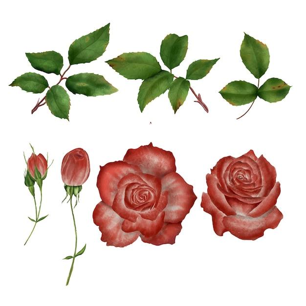 Élément De Fleur Rose Aquarelle Et Feuilles Vecteur Premium