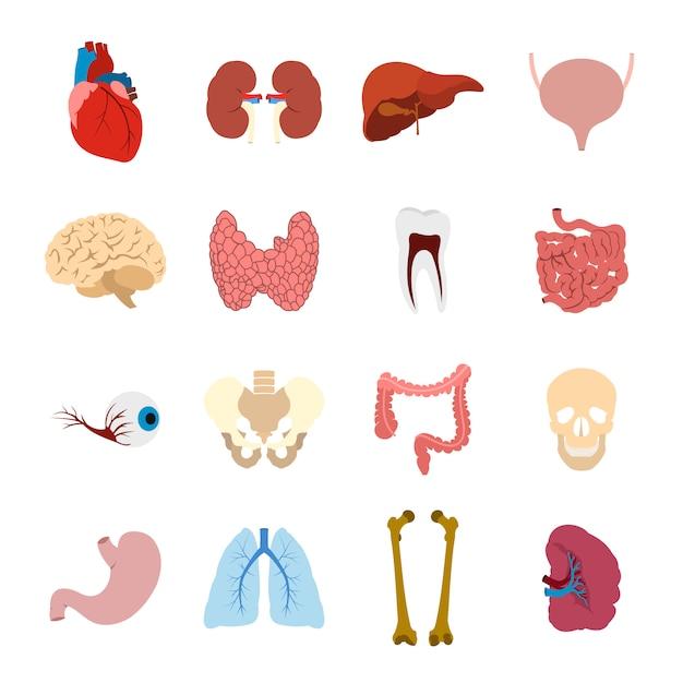 Éléments plats d'organes internes pour le web et les appareils mobiles Vecteur Premium