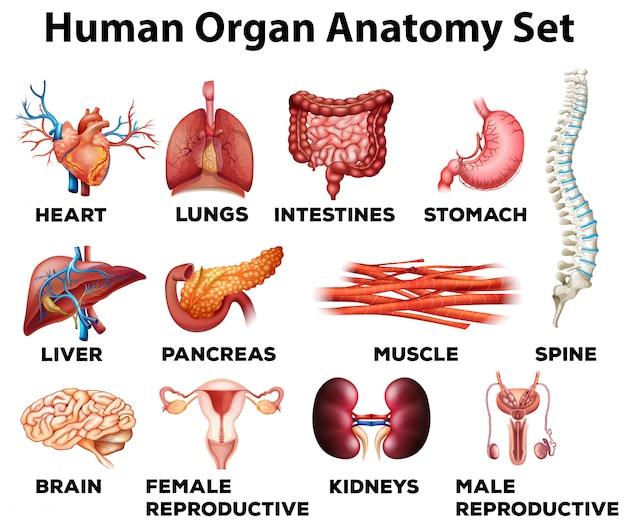 Ensemble d'anatomie d'organe humain Vecteur Premium