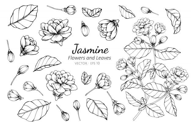 Ensemble de collection de fleur de jasmin Vecteur Premium