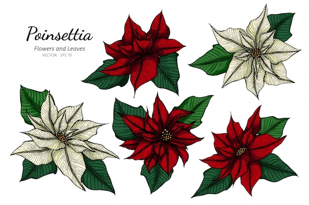 Ensemble de collection de fleur de poinsettia et feuilles dessin illustration. Vecteur Premium