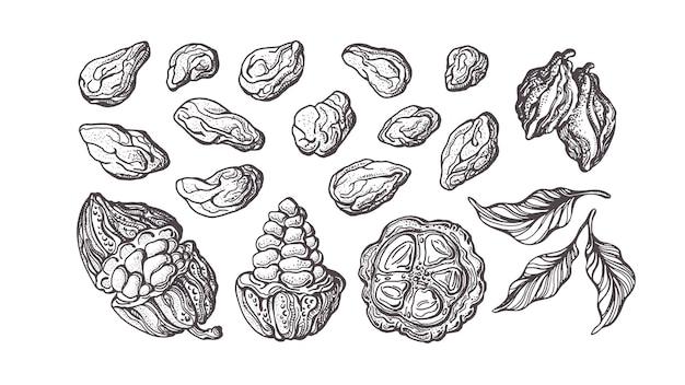 Ensemble Dessiné à La Main De Cacao. Ingrédient Chocolaté. Croquis Botanique De Haricots, Fruits, Feuilles Vecteur Premium