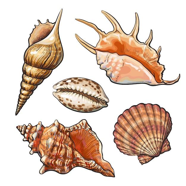 Ensemble de divers coquillages de beau mollusque, illustration de style de croquis isolé. dessin réaliste à la main de coquillages tels que conques, kauris, huîtres, spirales, coquillages et mollusques Vecteur Premium