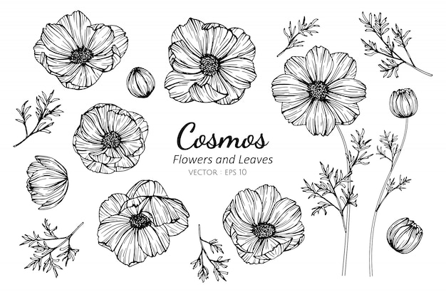 Ensemble de fleur de cosmos et feuilles dessin illustration. Vecteur Premium