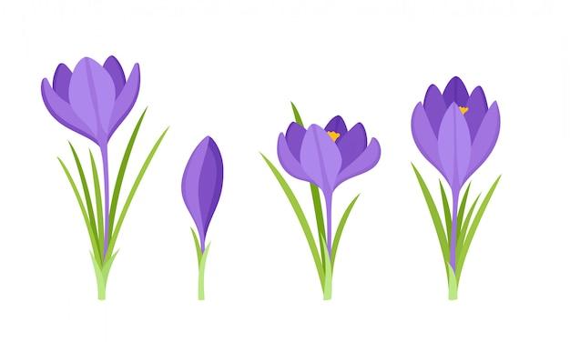 Ensemble De Fleurs De Crocus Violettes Avec Des Feuilles Isolées Sur Blanc. Vecteur Premium