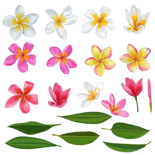 Ensemble de fleurs et feuilles de plumeria. éléments floraux tropicaux exotiques isolés Vecteur Premium