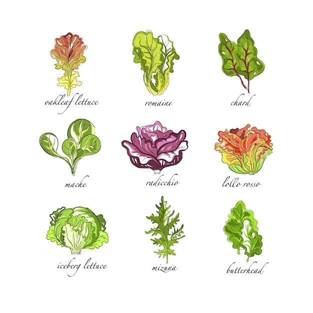 30 Meilleurs Feuille De Chene Feuille De Salade Illustrations