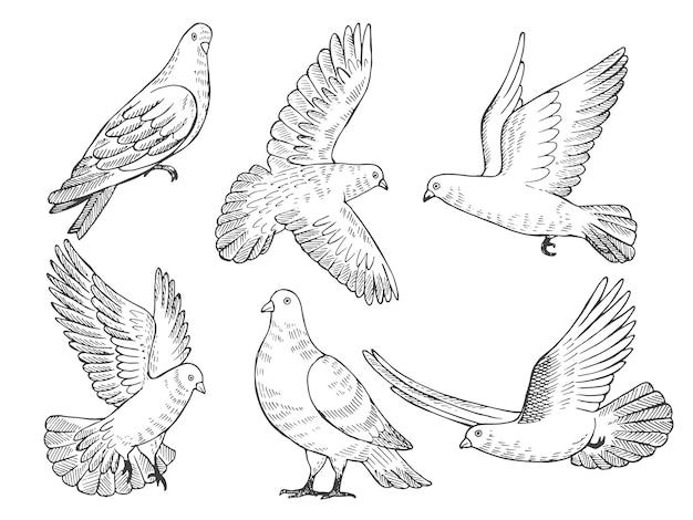 Ensemble d'illustrations de pigeons. dessinés à la main des images d'oiseaux isolés Vecteur Premium