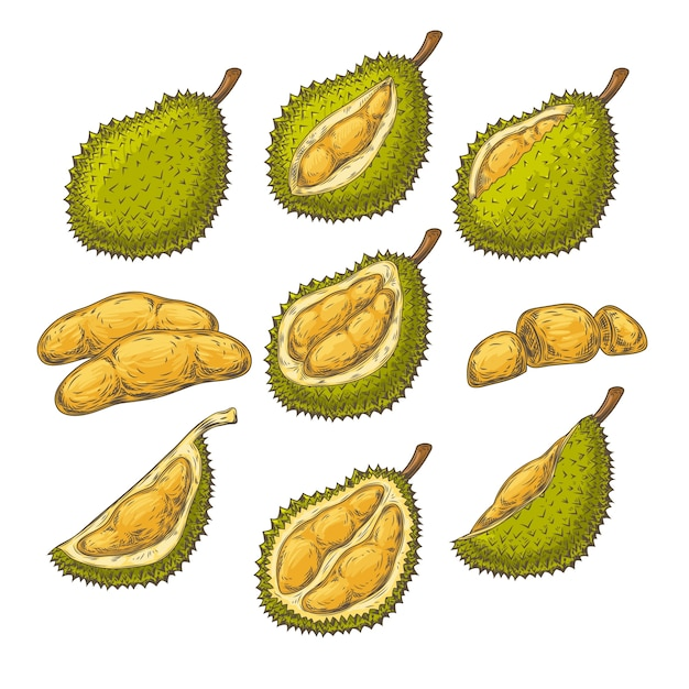 Ensemble d'illustrations vectorielles, icônes d'un fruit durian Vecteur gratuit
