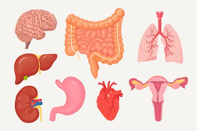 Ensemble D'intestins, Intestins, Estomac, Foie, Poumons, Cœur, Reins, Cerveau, Système Reproducteur Féminin Vecteur Premium