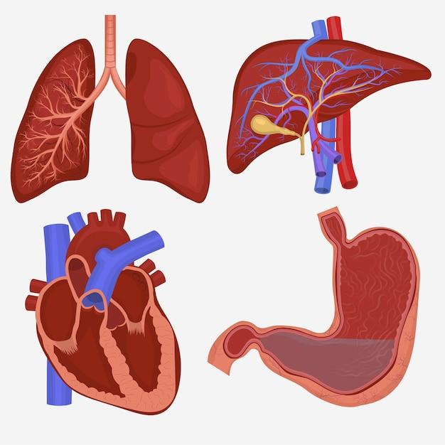 Ensemble D'organes Internes Humains. Anatomie Des Poumons, Du Foie, De L'estomac Et Du Cœur. Vecteur Premium