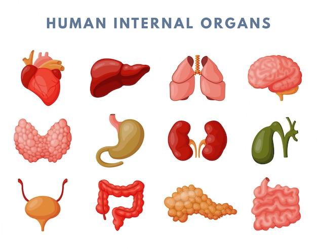 Ensemble D'organes Internes Vecteur Premium