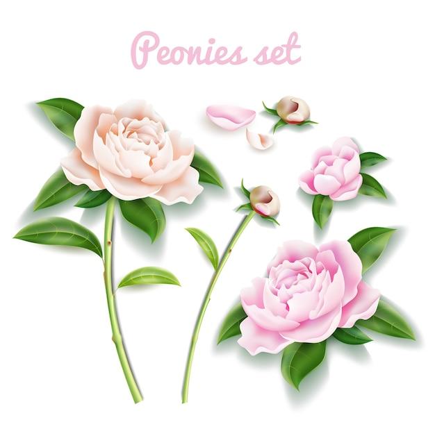 Ensemble De Pivoines élégantes. Fleur Pleine De Pastel Réaliste Avec Tige, Bourgeons, Fleurs Avec Feuilles Et Pétales. Vecteur Premium