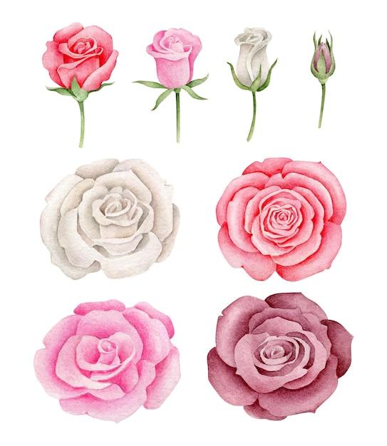 Ensemble De Roses Aquarelle Vecteur Premium
