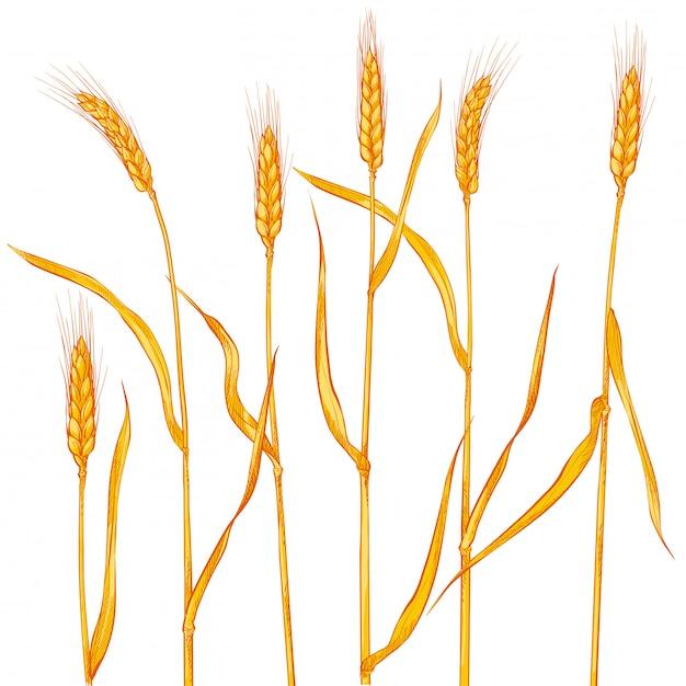 Épis De Blé. Récolte De Céréales, Agriculture, Agriculture Biologique Vecteur Premium