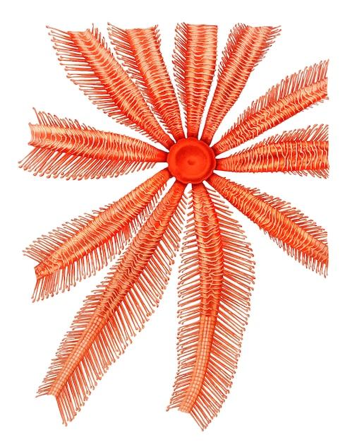 Étoile de mer de brisingidae Vecteur gratuit