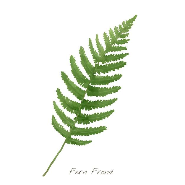 Feuille De Fronde De Fougère Isolée Sur Fond Blanc Vecteur gratuit