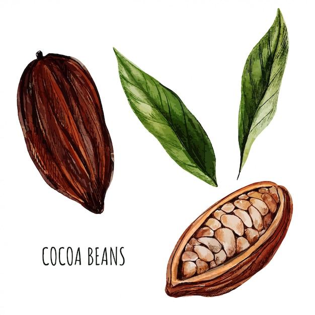 Fèves Et Feuilles De Cacao. Aquarelle Dessinée à La Main Vecteur Premium