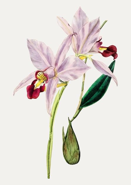 Fleur de cattleya Vecteur gratuit