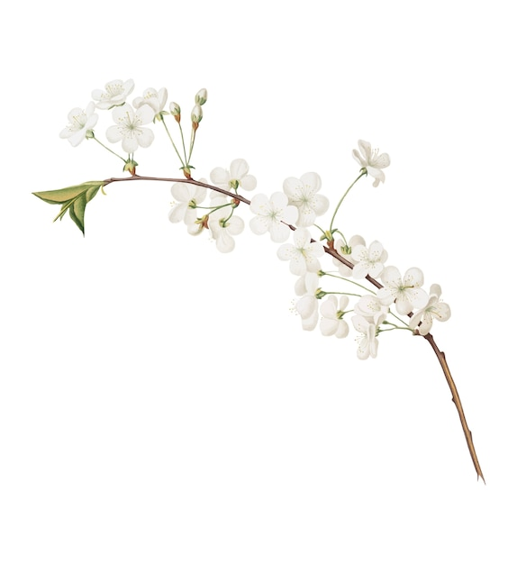 Fleur de cerisier amarena d'illustration de pomona italiana Vecteur gratuit