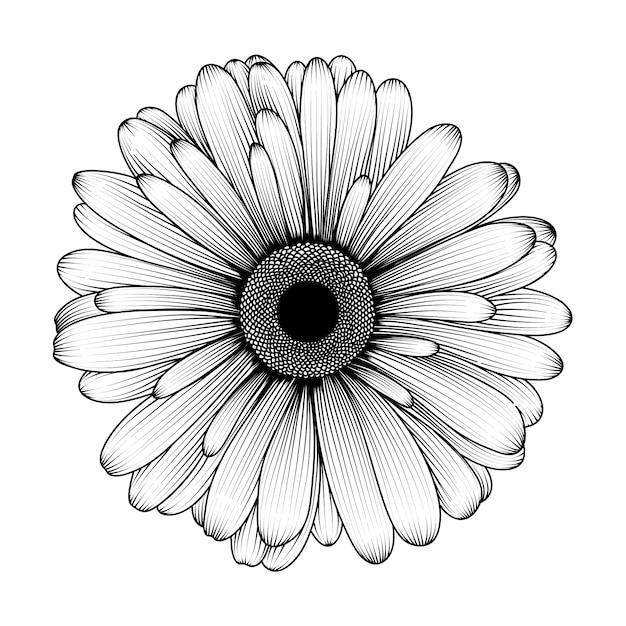 Fleur de chrysanthème dessiné à la main. Vecteur Premium