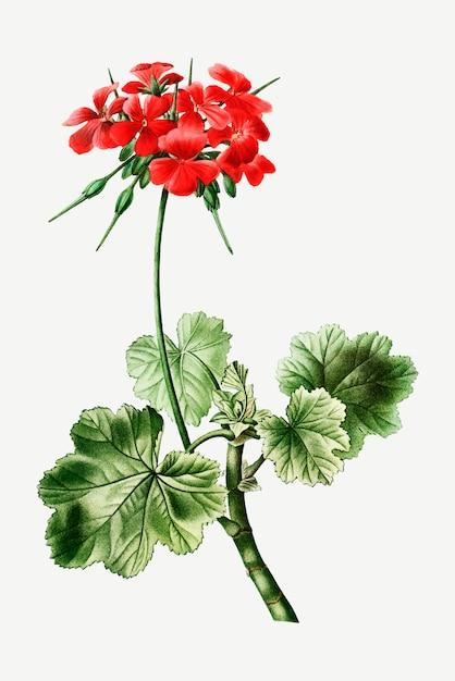 Fleur D'éranium écarlate Vecteur gratuit
