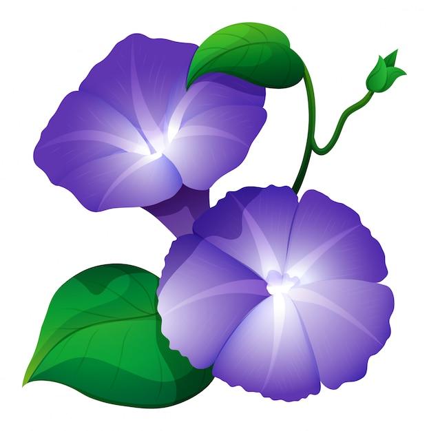 Fleur de gloire du matin en couleur violette Vecteur gratuit