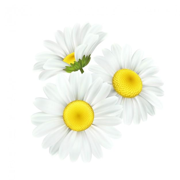 Fleur De Marguerite De Camomille Isolé Sur Blanc Vecteur Premium