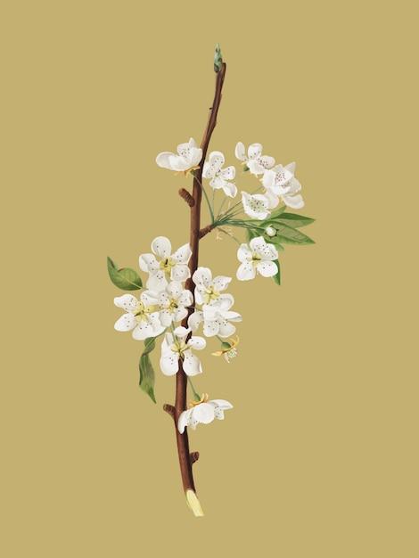 Fleur de poire musquée d'illustration pomona italiana Vecteur gratuit