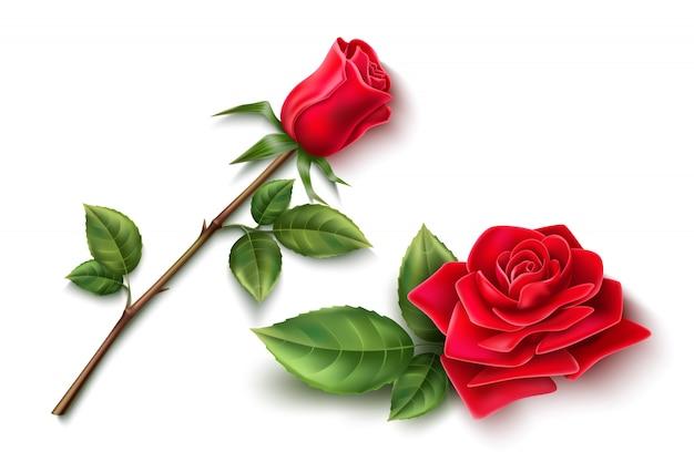 Fleur Rose Rouge Réaliste Avec Fleur Ouverte, Coller Avec Des épines Et Des Feuilles Vertes Vecteur Premium