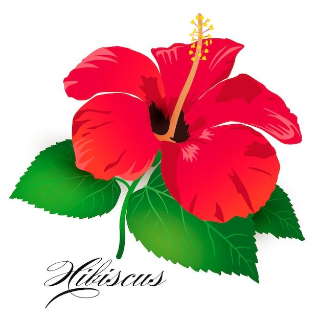 Fleur tropicale d'hibiscus rouge Vecteur Premium
