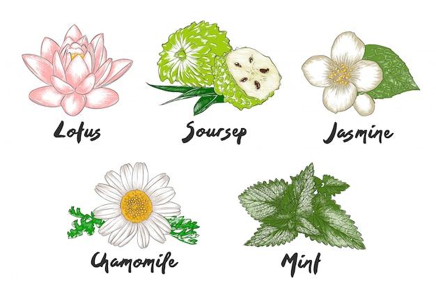 Fleurs, herbes et épices biologiques gravées de vecteur Vecteur Premium