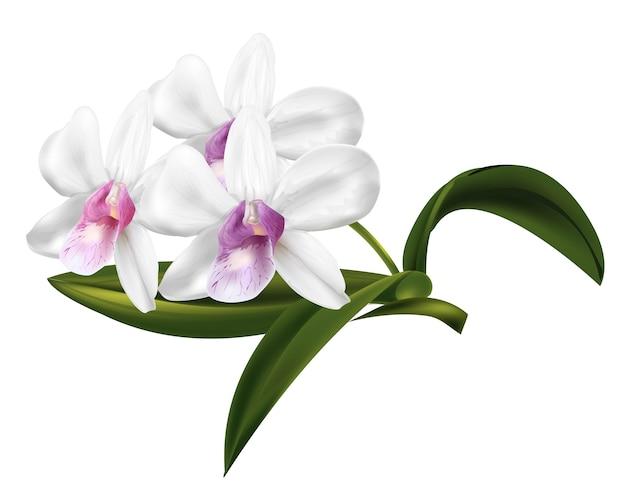Fleurs d'orchidée dendrobium Vecteur Premium