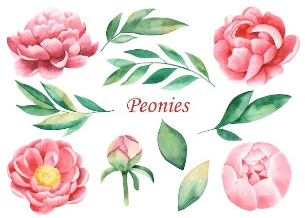 Fleurs De Pivoines Roses Et Feuilles Vecteur Premium