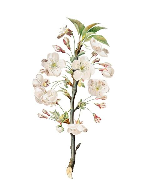Fleurs de poirier d'illustration pomona italiana Vecteur gratuit