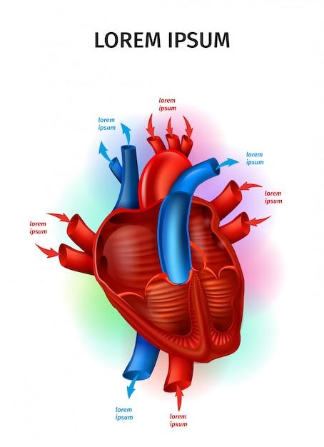 Flux de sang dans le schéma de vecteur réaliste du cœur humain Vecteur Premium