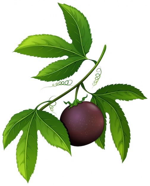 Fruit De La Passion Frais Sur La Branche Vecteur gratuit