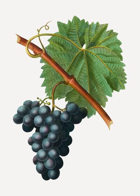 Grappe de raisin bleu Vecteur gratuit