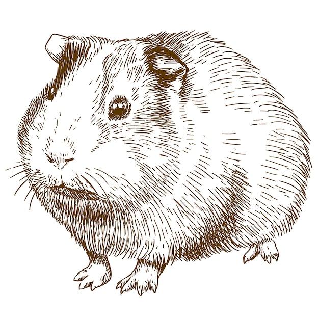 Gravure Dessin Illustration De Cochon D Inde Vecteur Premium